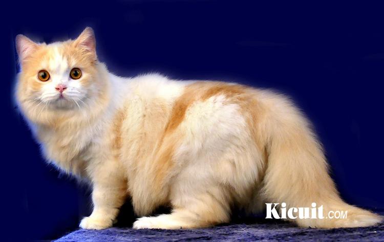 Tips Memelihara Kucing Persia Bagi Pemula