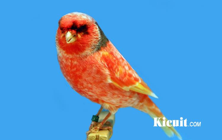 Tips Merawat Burung Kenari Agar Gacor Kicuit Com