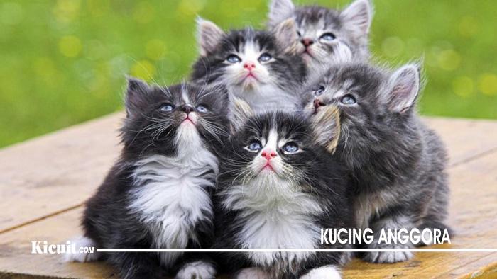 Cara Sederhana Merawat Kucing Anggora Bagi Pemula
