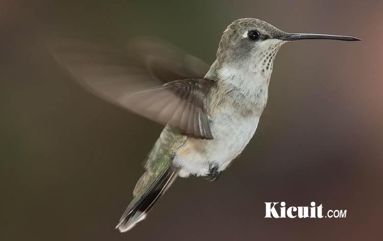 Tips Merawat Burung Colibri