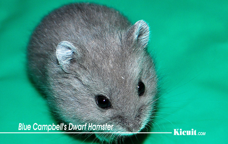 Blue Campbell's Dwarf Hamster - Mengenal Hamster Campbell