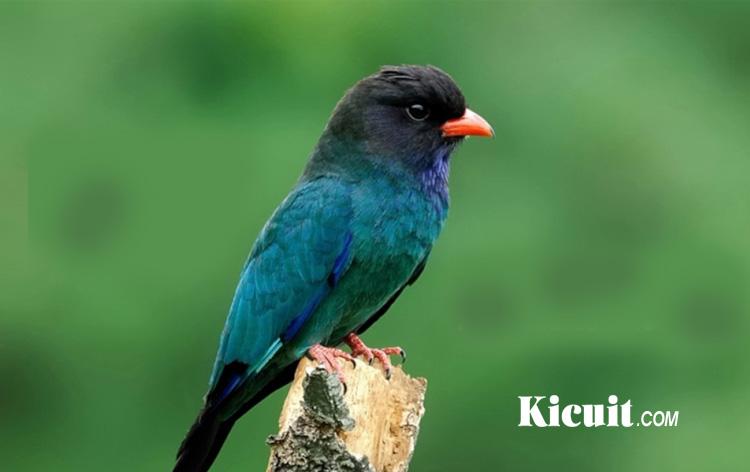 Suara Burung Tengkek Buto Buat Masteran