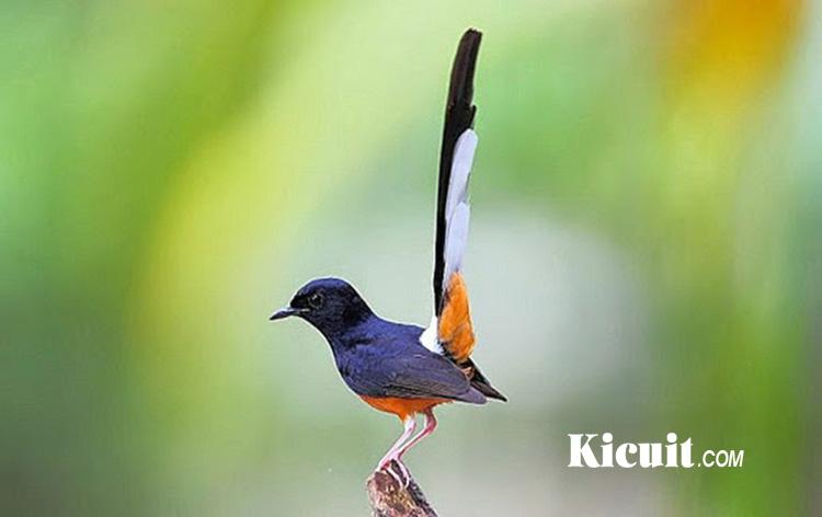Download Suara Kicau Burung Murai Batu Durasi Panjang 30 Menit