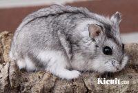 Mengenal Hamster Campbell
