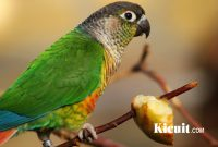 Memilih Bakalan Burung Lovebird