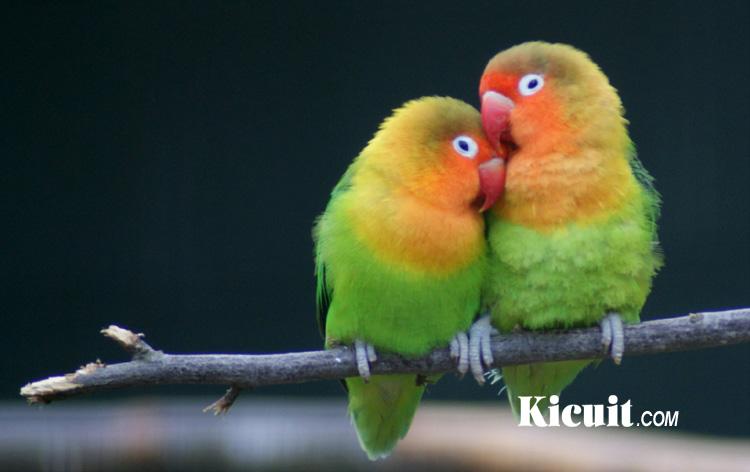 Tips Merawat Burung Lovebird Agar Kicauannya Panjang