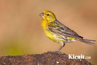 Cara Jitu Menjadikan Burung Kenari Punya Kicauan Hebat