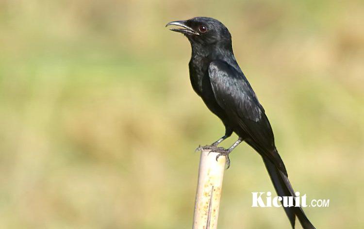 Download Suara Burung Srigunting Lengkap Untuk Masteran