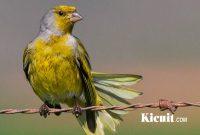 Teknik Perawatan Burung Kenari Yang Benar Bagi Pemula 2