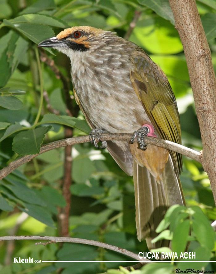 Jenis Burung Cucak Rawa di Indonesia 2