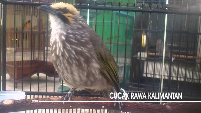 Jenis Burung Cucak Rawa di Indonesia 3
