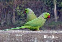 Download Suara Kucauan Burung Betet Yang Gacor