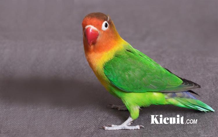 Download 18 Suara Burung Lovebird Gacor Ngekek Ngebom