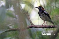 Download Suara Kicau Burung Anis Kembang
