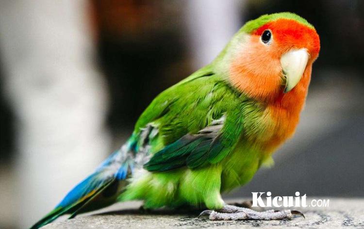 Jenis-jenis Burung Lovebird yang Populer di Indonesia