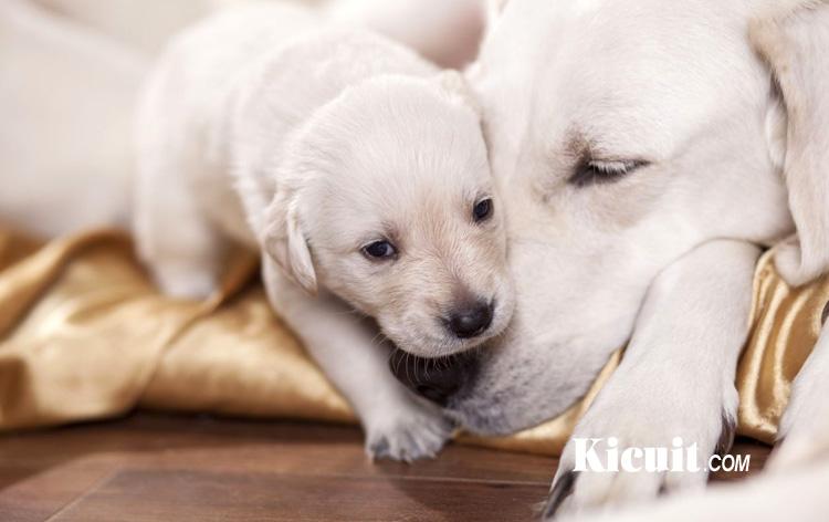 Merawat Induk Anjing Yang Baru Melahirkan Beserta Anaknya