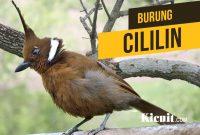 Download Suara Kicau Burung Cililin Gacor