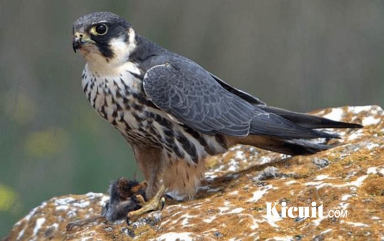 Burung Burung Paling Berbahaya Di Dunia Kicuit Com