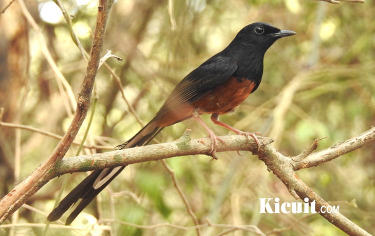 Cara Membedakan Burung Murai Batu Jantan Dan Betina Kicuit Com