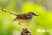 Download Koleksi Suara Burung Ciblek Lengkap