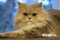 Hal Berikut Wajib Anda Ketahui Sebelum Memelihara Kucing Persia