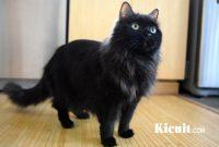 Merawat Bulu Kucing Anggora
