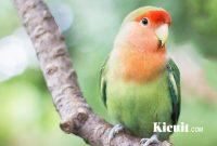 Tips Bisnis Penangkaran Burung Love Bird