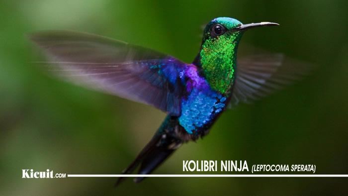 Makanan Terbaik Untuk Burung Kolibri Ninja 2