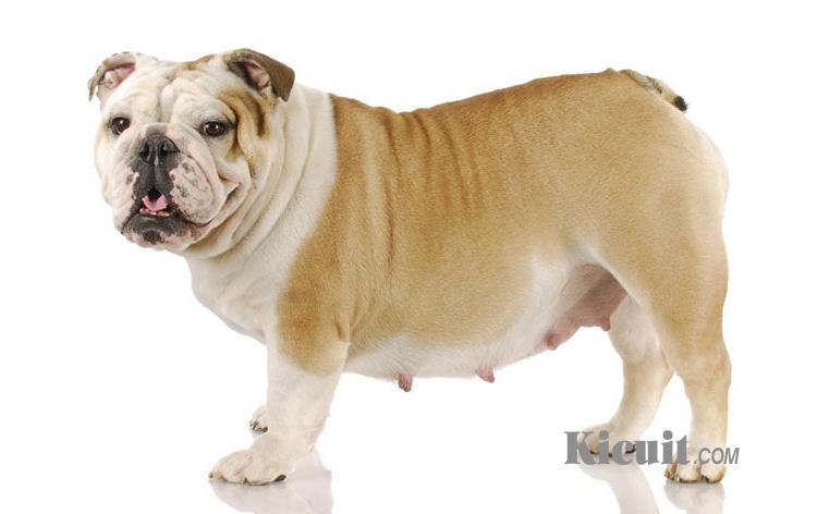 Berbagai Masalah Kesehatan Anjing Bulldog yang Wajib Diperhatikan
