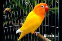 5 Jenis Makanan Lovebird Lutino Agar Rajin Ngekek