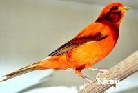 Burung Kenari Black Red