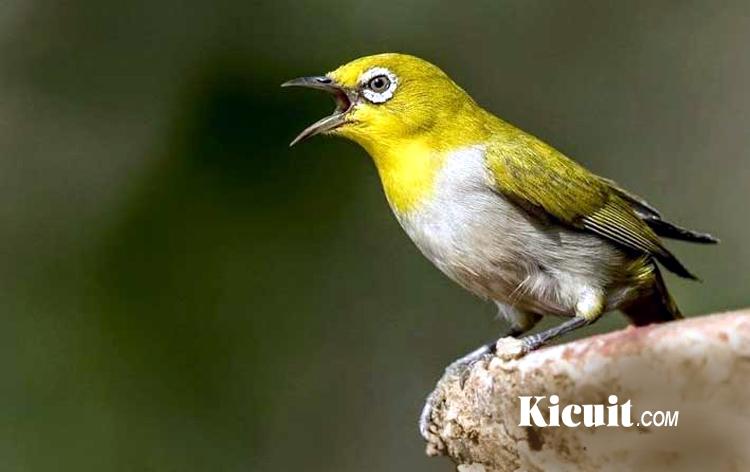 Cara Memilih Bakalan Burung Pleci yang Berkualitas
