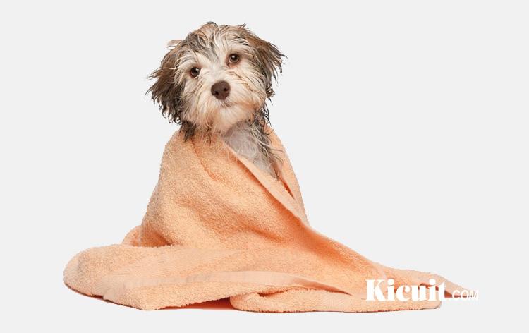 Hal penting yang harus anda ketahui sebelum memandikan anjing