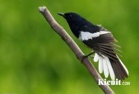 Jenis Makanan Burung Kacer Agar Bisa Gacor dan Ngeplong