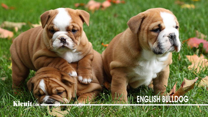 Karakter Anjing English Bulldog