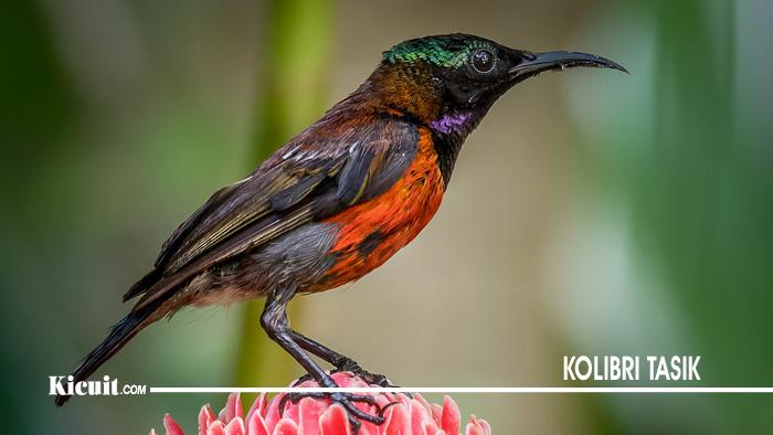 Burung Kolibri Tasik