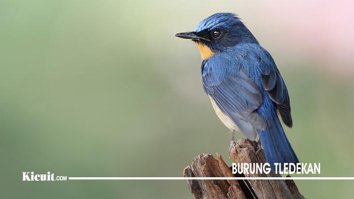 Memilih Burung Tledekan Bambu Yang Punya Prospek Bagus