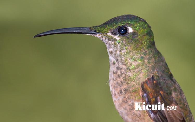Mengenal 3 Jenis Burung Kolibri dan Karakteristiknya