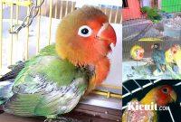 Tips Perawatan Lovebird Mabung Agar Cepat Tuntas
