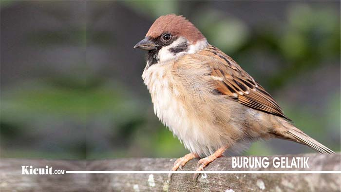 Suara Burung Gelatik
