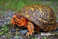 Jenis Kura Kura Dan Beberapa Tips Cara Merawat Kura kura