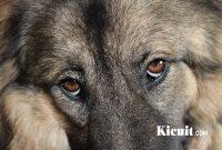 Jenis Penyakit Glaukoma Pada Anjing