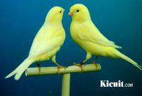 Jenis dan Cara Memelihara Burung Kenari