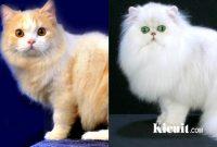 Kucing Persia dan Angora