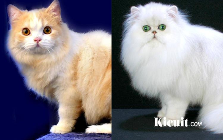 Cara Merawat Kucing Persia Dan Angora Kicuit Com