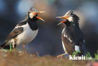 Masteran Kicau Burung Jalak Suren Gacor