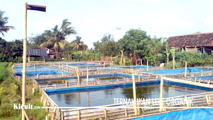 Ternak Ikan Lele Organik