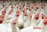 Tips Sukses Bisnis Ternak Ayam Potong