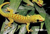 Mengenal Tokek Hias - Gecko