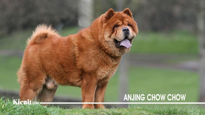 karakter Anjing Chow Chow